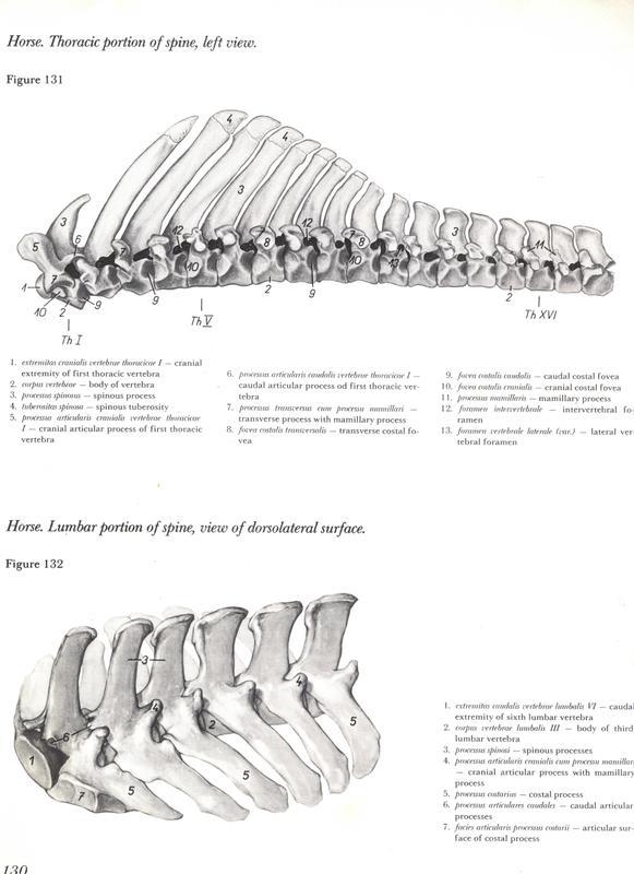 horse-thoracic-portion-spine-left-view-espinha-cavalo-egua-anatomia-veterinaria-livro-pdf-vetarq