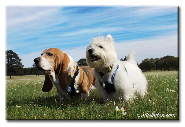 Bentley Basset Hound and Pierre Westie strike a pose
