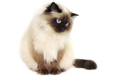 Cara Melatih Kucing Siam
