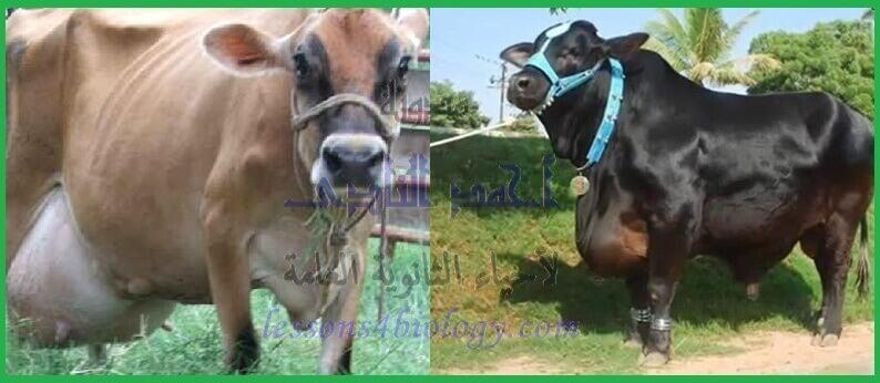 بنوك الأمشاج - الأبقار - لحوم - ألبان - الثالث الثانوى