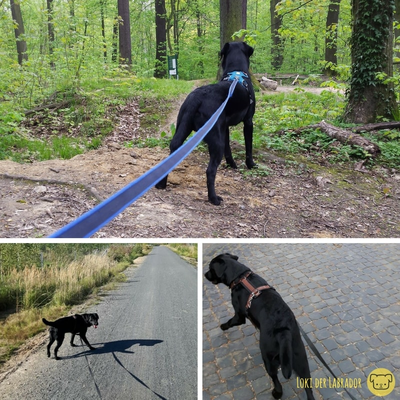 Schwarzer Labrador an der Leine