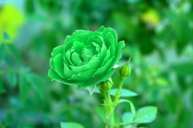 hoa hồng xanh lá đẹp nhất