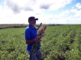 Agricultores iniciam colheita de amendoim no Agreste paraibano