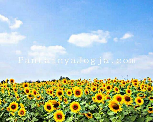 Taman bunga matahari di bantul jogjakarta
