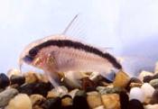 Jenis Ikan Corydoras arcuatus