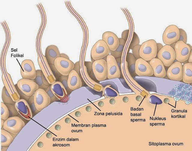 Proses Fertilisasi / Pembuahan Sel Sperma dengan Sel Ovum