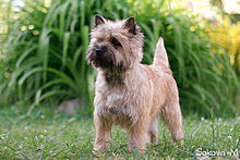 red Cairn Terrier dog breed