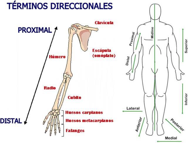 Términos direccionales de los planos anatómicos