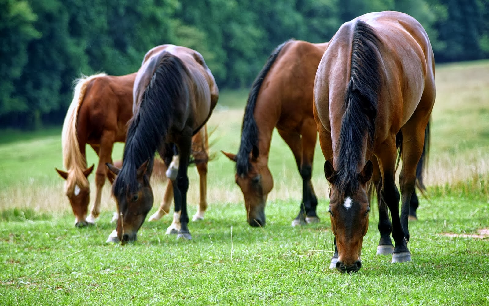 HORSES HD WALLPAPERS | FREE HD WALLPAPERS