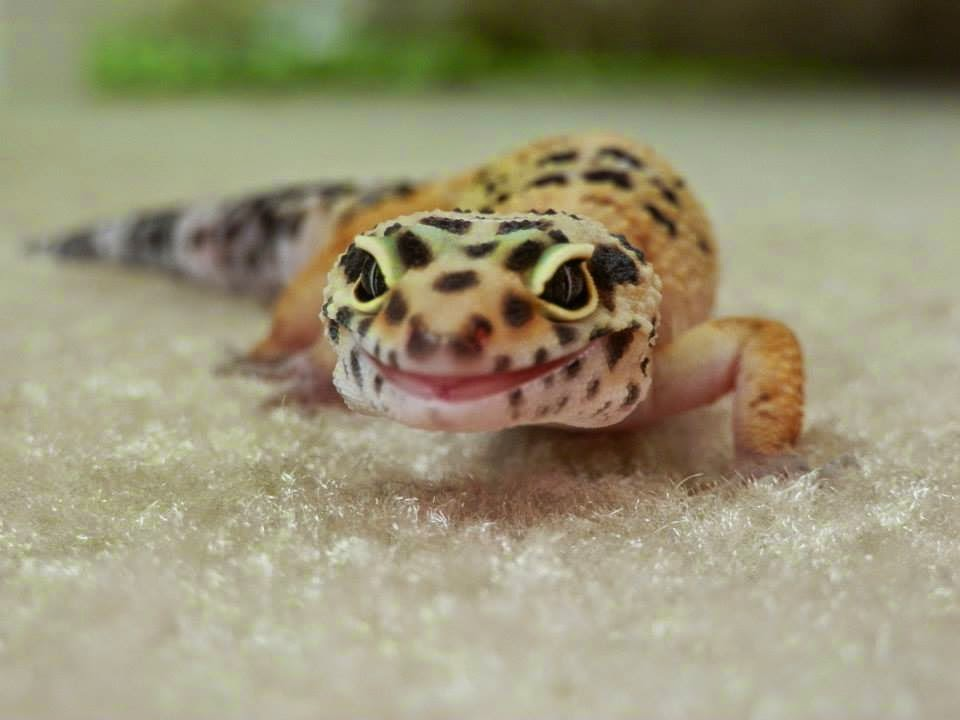 Leopard Gecko Husbandry Kingsbrook Animal Hospital S Blog