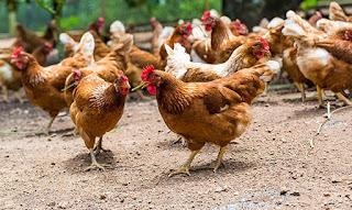 Budidaya Ayam broiler Ross