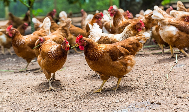 ayam broiler jenis ross