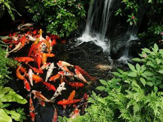 https://tipspetani.blogspot.com/2019/01/penyakit-yang-sering-menyerang-ikan-koi.html