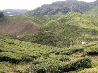 ladang teh cameron