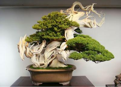 Deretan Pohon Bonsai Jepang yang mengagumkan