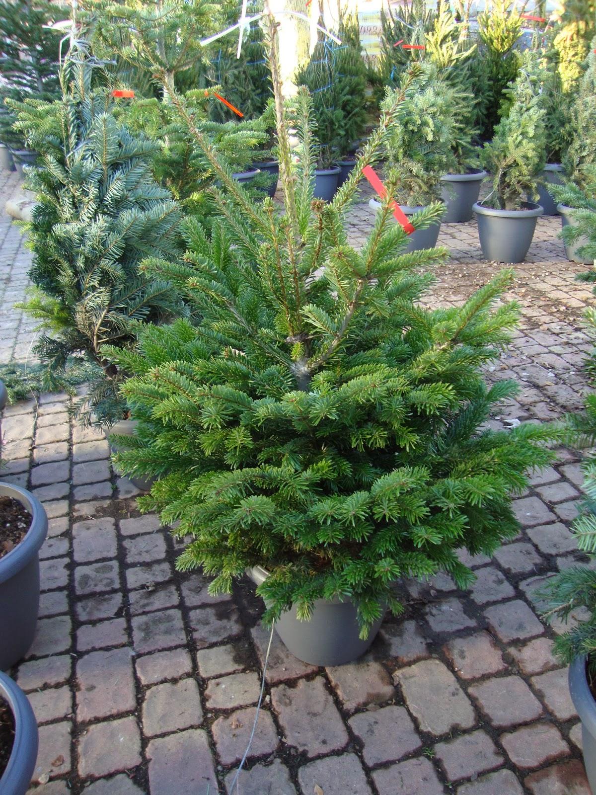 Un piccolo giardino in citt l 39 albero di natale vero una - Alberi giardino piccolo ...
