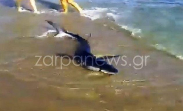 Χανιά: Καρχαρίας βγήκε στη στεριά και εγκλωβίστηκε στην ακτή (βίντεο)