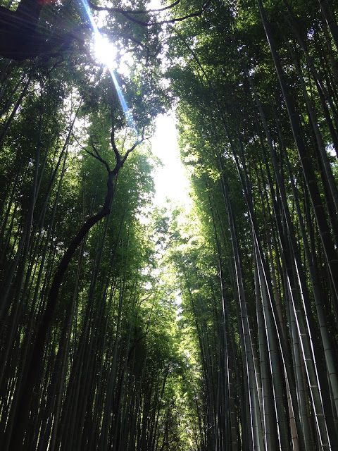 tall shoots of green bamboo in Arashiyama, Kyoto, Japan