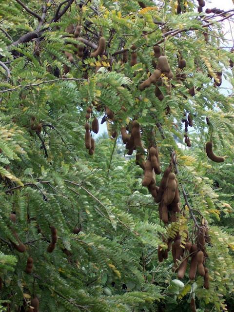 Quả Me - Tamarindus indica - Nguyên liệu làm thuốc Nhuận Tràng và Tẩy