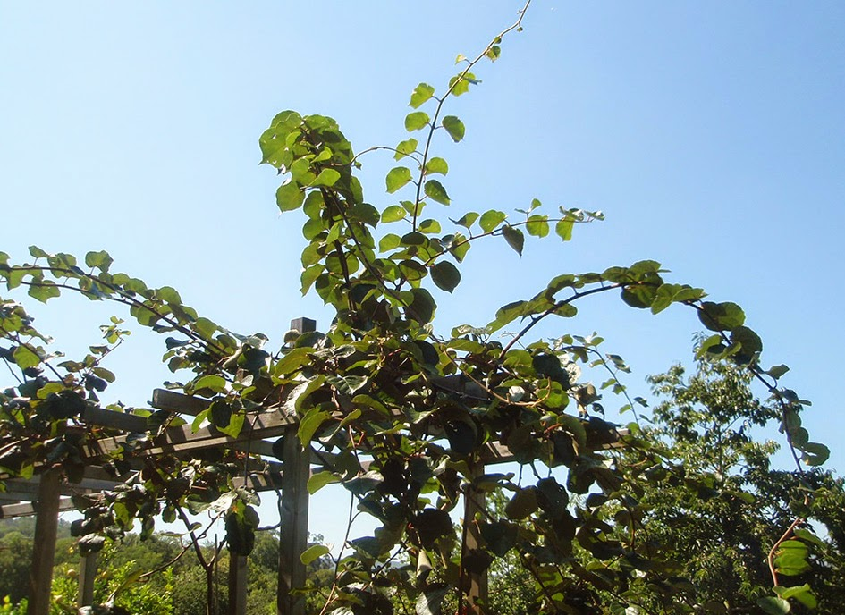 C mo podar los kiwis for Arboles de jardin que den sombra