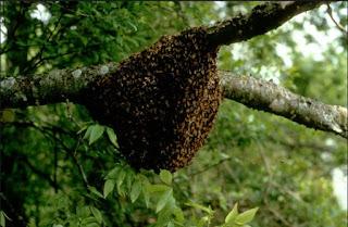 lebah mengamuk