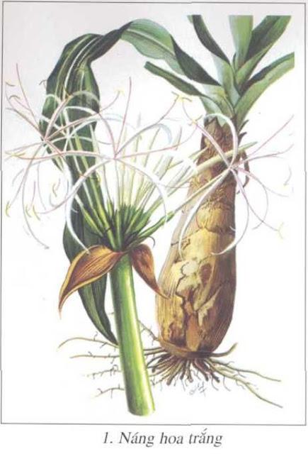 Cây Náng Hoa Trắng - Crinum asiaticum - Nguyên liệu làm thuốc Chữa Tê Thấp và Đau Nhức