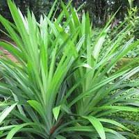 daun pandan wangi bisa mengobati penyakit