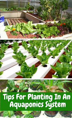 Tips For Planting In An Aquaponics System
