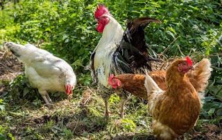 Ternak Ayam Kampung Bermodal 200 Ribu