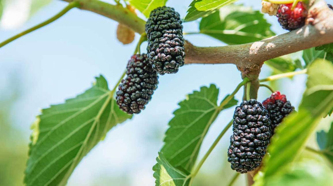 Mulberry fruit benefits and side effects, morus alba, mulberry recipes, morus rubra, mulberries vs blackberries, mulberry tree for sale, mulberry leaves benefits, mulberry juice, black mulberry tree, mulberry tree identification, mulberry fruit tree, mulberry edible, mulberry fruit side effects, mulberry benefits for skin, mulberry fruit in hindi, dried mulberries recipes, mulberry fruit dried, mulberry benefits weight loss, mulberry fruit recipes, mulberry fruit in telugu