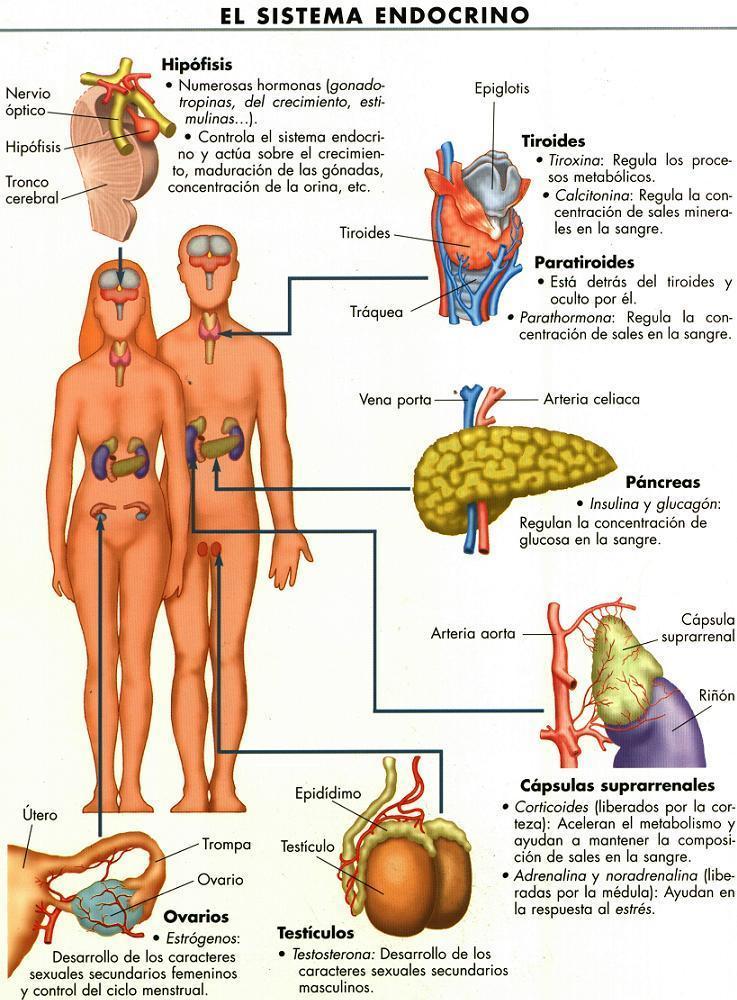 nombres de glándulas endocrinas