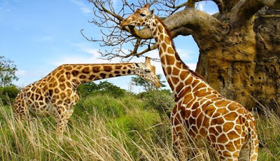 Jerapah Masuk ke dalam Daftar Spesies Terancam Punah