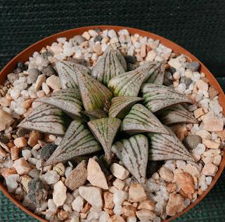 Haworthia Lombard Star 2A