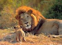 León con su cachorro