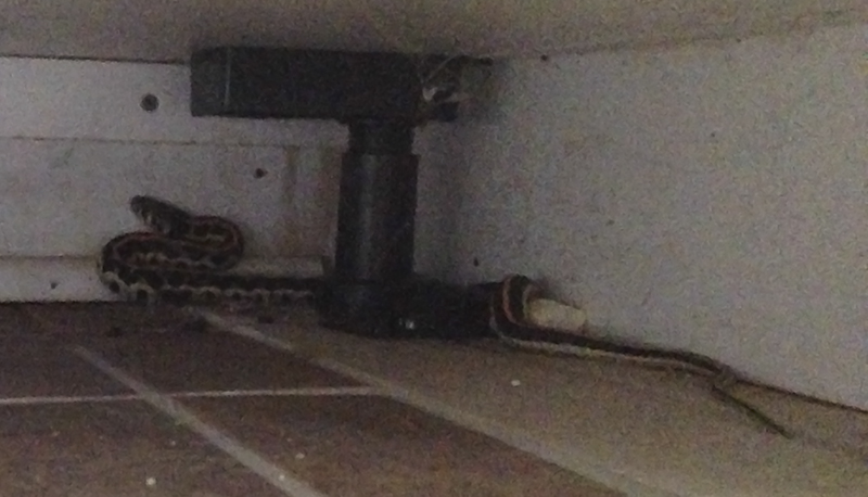 Edward Plumer Garter Snake in the Kitchen