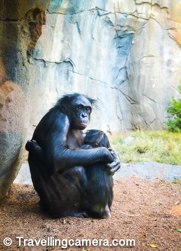 This is one of my favorite photograph from San Diego Zoo. The way she was hugging her kid was awesome and I loved the fact that at San Diego Zoo, many of the cages have glasses installed to see the special landscapes built for these animals and their action full of fun. This photograph is  clicked through glass wall and these guys were sitting pretty close.