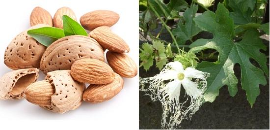 Phương thuốc chữa amidan bằng hạnh nhân và thiên hoa phấn
