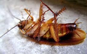 Foto de una cucaracha de espalda