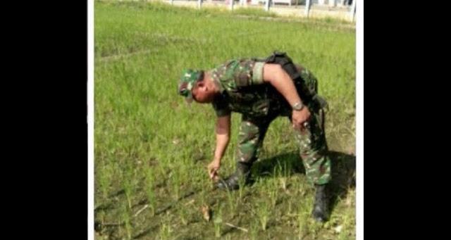 Bersama Poktan, Babinsa Koramil 04 / LB Lakukan Pengecekan Tanaman Padi di Desa Sei Siarti