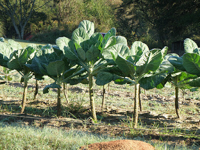 Growing Collard Greens in Your Yard