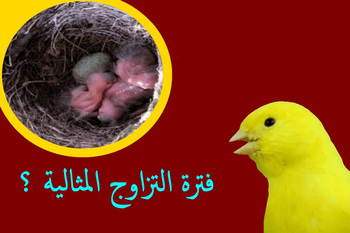 في اي شهر يبدأ الإنتاج عند طيور الزينة : طائر الحسون طائر الكناري وبعض طيور الزينة