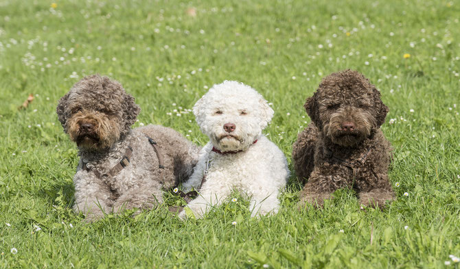 everything about your lagotto romagnolo luv my dogs