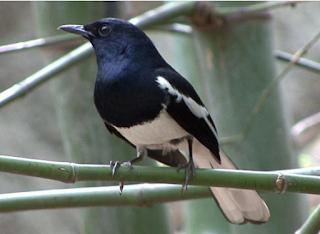 Daftar Harga Burung Kacer Bahan Terbaru