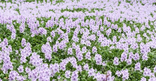《台中.神岡》鳳眼藍(鳳眼布袋蓮),夢幻藍紫色花海,危害生態卻也治理水質