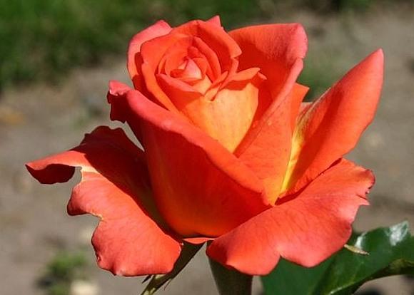 Monica rose сорт розы фото