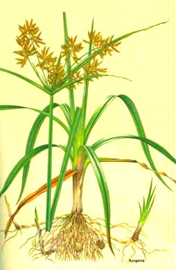 Fichas de Plantas Medicinales