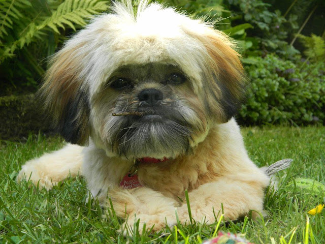 Aurora The Shih Tzu
