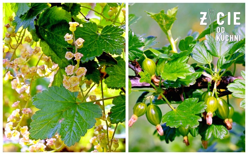 porzeczki, krzak porzeczek, agrest, krzak agrestu, owoce agrestu, kwiaty porzeczki, maj, majowka, ogrod, ogrodek, weekend, wies, blog, zycie od kuchni, krzewy owocowe, szparagi, danie na grilla
