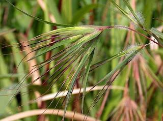 Khasiat Rumput Merak Untuk Kesehatan