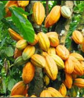 Komoditas Kakao dikala ini telah menjadi andalan ekspor ke beberapa negara Kabar Terbaru- TEKNIK PEMELIHARAAN TANAMAN KAKAO
